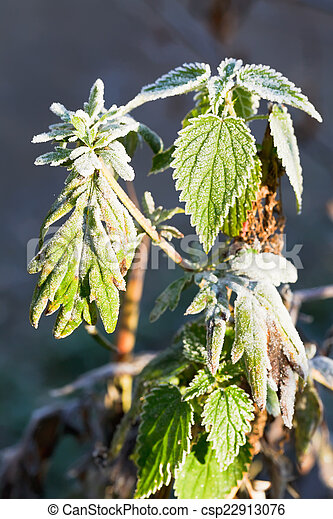 frost on green nettle leaves in autumn - csp22913076