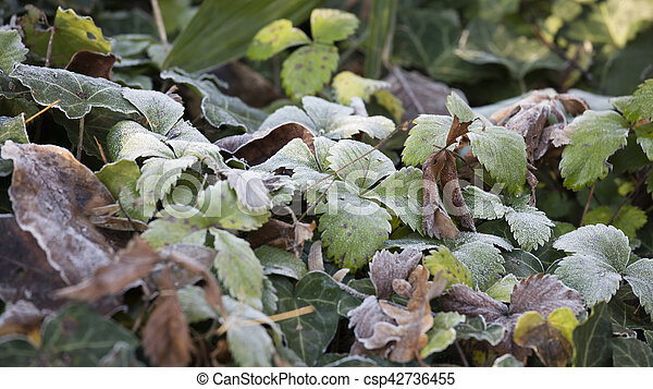 frost on leaves in winter - csp42736455