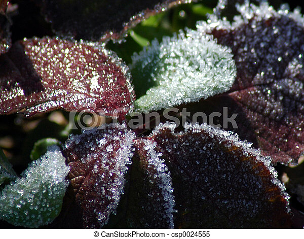 Frost on leaves - csp0024555