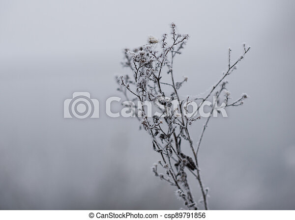 frost on the branches of a bush in winter - csp89791856
