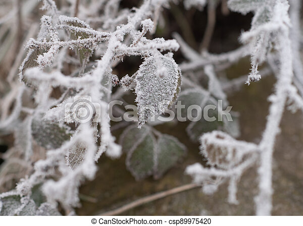 frost on the branches of a bush in winter - csp89975420