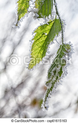 Frost on the leaves of birch. Winter season background. - csp61615163