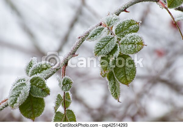 frost on the leaves - csp42514293