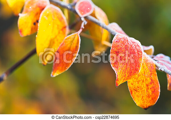 frost on yellow, red leaves in autumn - csp22874695