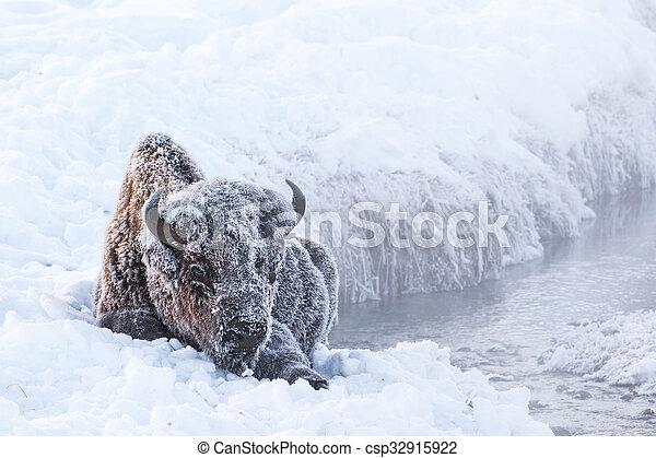 frosty bison - csp32915922