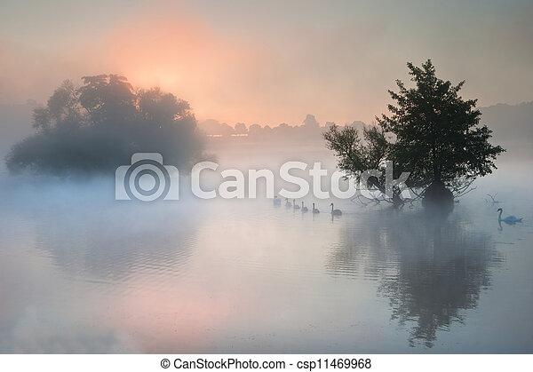 frotta, nebbioso, lago, gregge, autunno, cadere, nebbioso, cigni - csp11469968