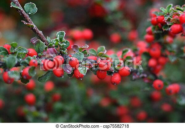 Frozen berries of barberry. Shallow depth of field - csp75582718