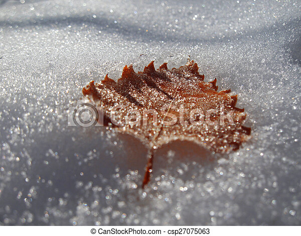 Frozen oak leaves laying in the snow - csp27075063