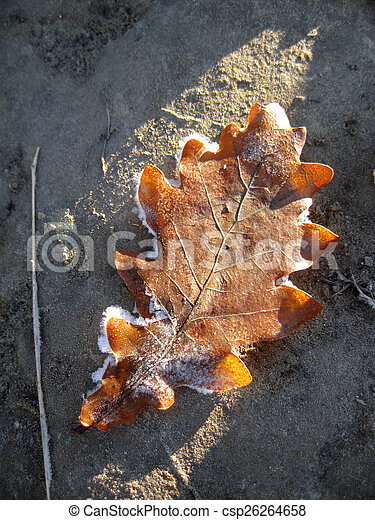 Frozen oak leaves laying in the snow - csp26264658