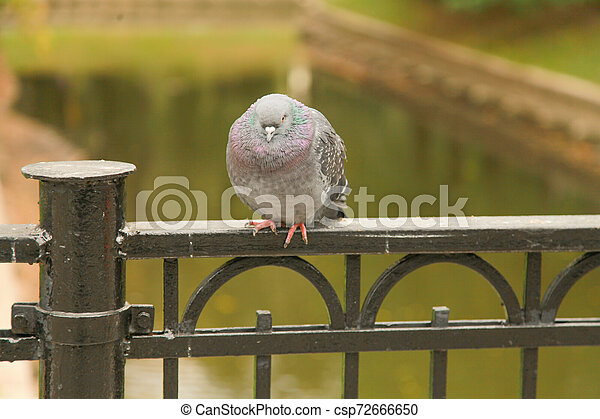 frozen pigeon sit on the fence of the bridge in the city Park in the autumn - csp72666650