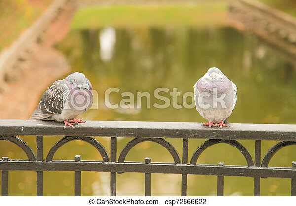 frozen pigeons sit on the fence of the bridge in the city Park in the autumn - csp72666622