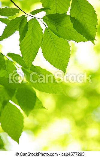 fruehjahr, blätter, grün - csp4577295