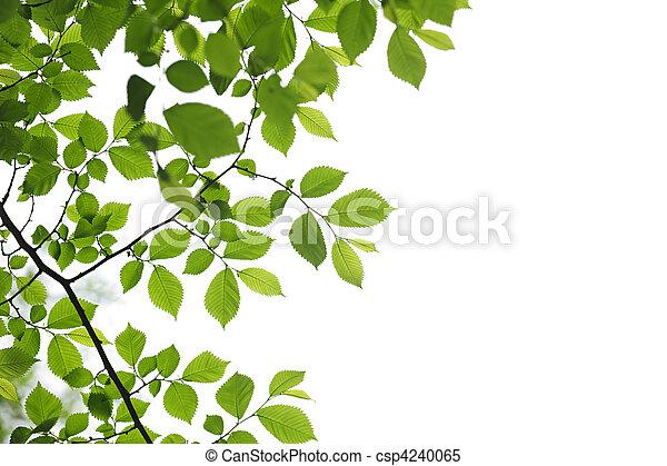 fruehjahr, blätter, grün weiß, hintergrund - csp4240065