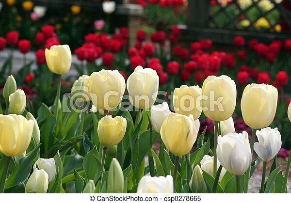 Spring Tulpen - csp0278665