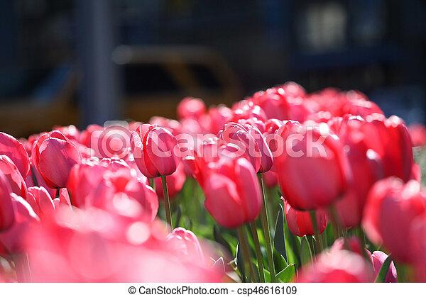 fruehjahr, tulpen - csp46616109