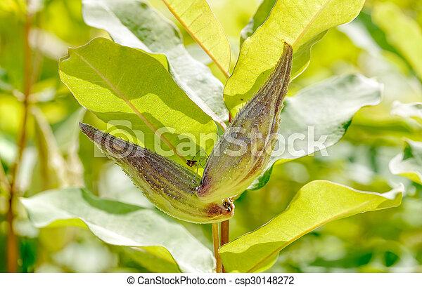 Fruit of Asclepias Syriaca - csp30148272
