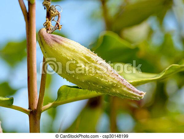 Fruit of Asclepias Syriaca - csp30148199