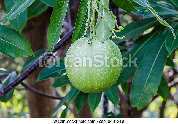 Fruit of suicide tree or pong pong. - csp19481219