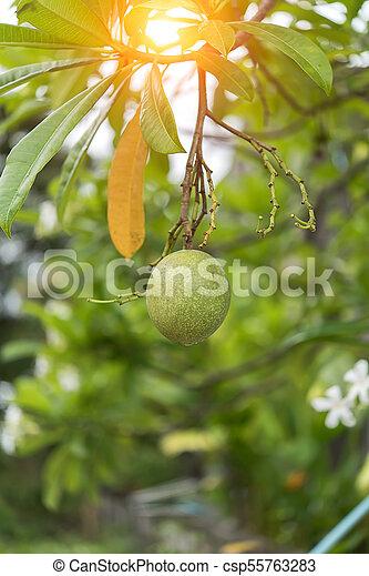 Fruit of Suicide tree - csp55763283