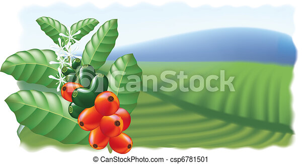 Fruits and flowers of coffee tree. - csp6781501