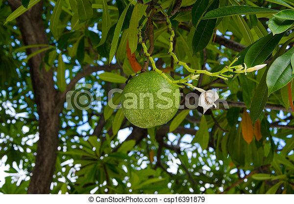 Fruits of cerbera odollam tree - csp16391879