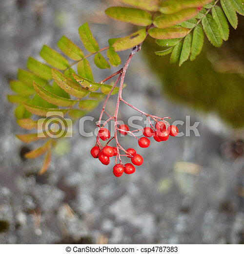Fruits of wild red mountain ash - csp4787383