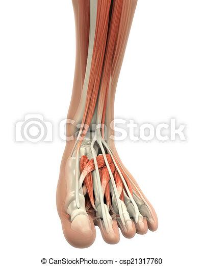 Fuß, koerperbau, muskeln, menschliche . Muskeln, render ...