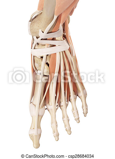 Fuß, muskeln. Fuß, medizin, muskeln, genau, abbildung.