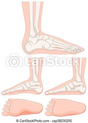 Fuß, satz, menschlicher knochen. Fuß, knochen, satz, menschliche ...