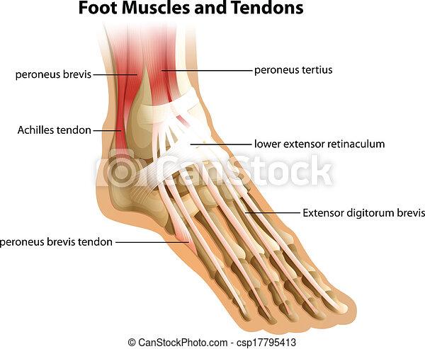Fuß, sehnen, muskeln. Muskeln, fuß, illustrattion, hintergrund ...