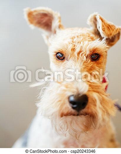 Fuchs, draht, terrier. Draht, innen, fuchs, ende, porträt, terrier.