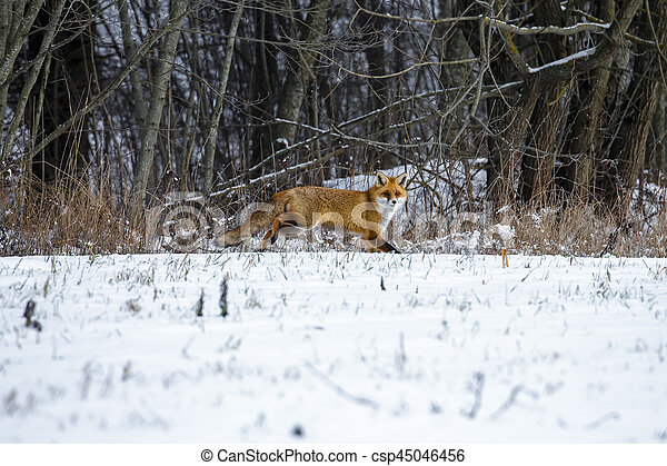 Fuchs Winter Rotes Wald Winter Fuchs Rennender Rotes