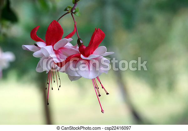 Fuchsia Flower in Red and White - csp22416097