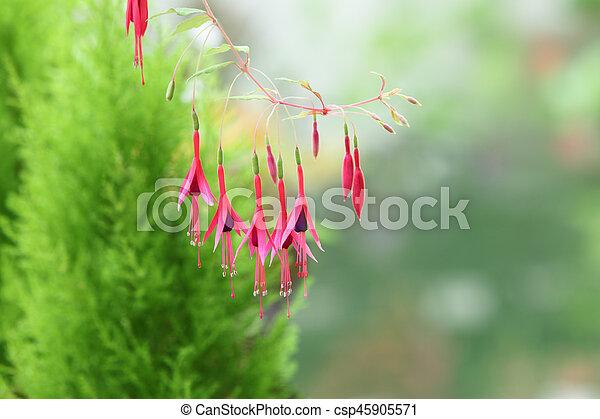 Deciduous Fuchsia Flower Over Evergreen Pine Defocus Background