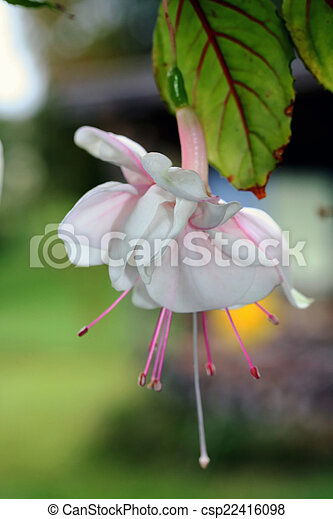 Fuchsia Flower, pink and white - csp22416098