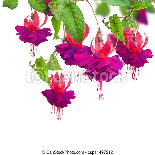 Fuchsia Flowers - csp11497212