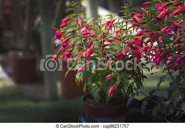 Fuchsia flowers red - csp68231757