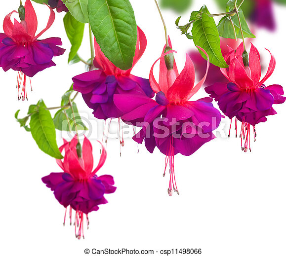 Fuchsia Flowers  - csp11498066