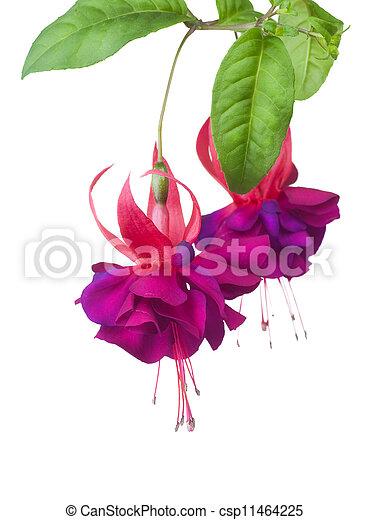 Fuchsia Flowers - csp11464225