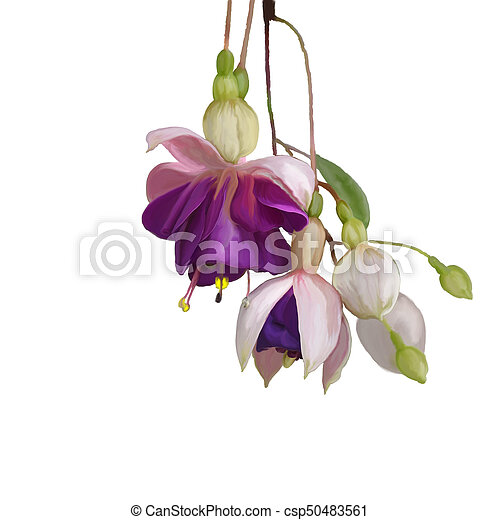 Fuchsia Flowers watercolor - csp50483561