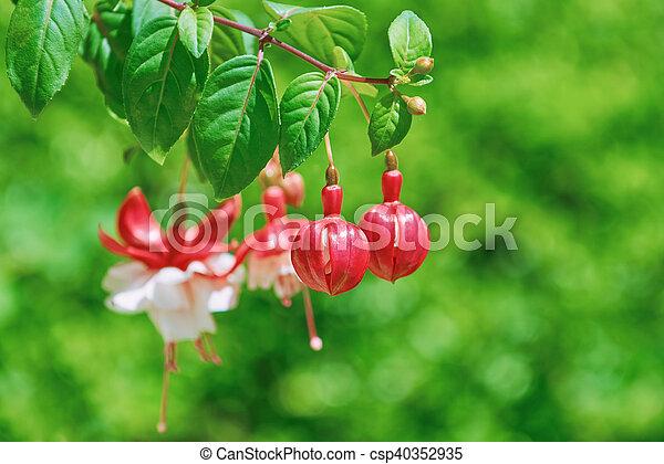 Fuchsia Hybrida Flowers - csp40352935