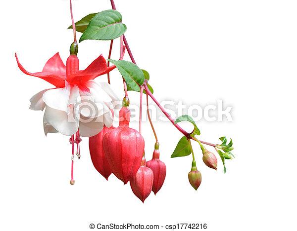 fuchsia lena flower - csp17742216