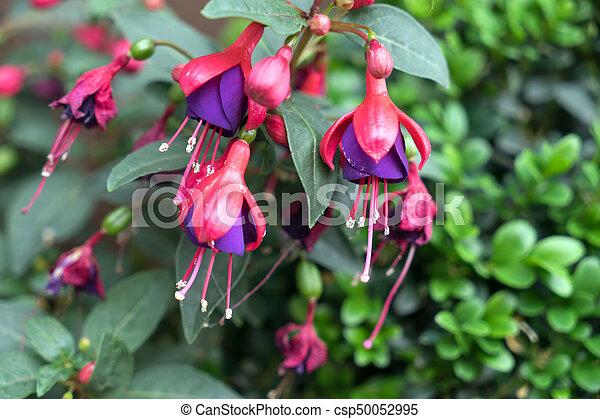 Fuchsia - csp50052995