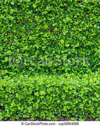 fujian tea tree bush, fujian tea shrub, garden green plant background
