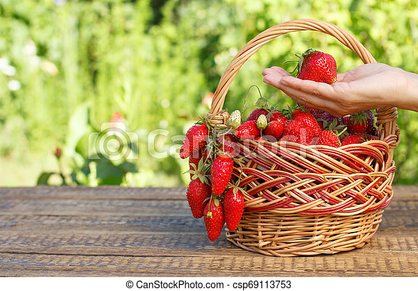 Full basket with just picked fresh red ripe strawberries and female hand holding a berry. - csp69113753
