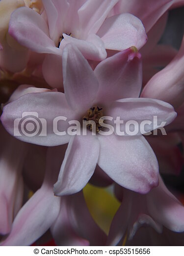 Full blossoms of the hyacinth. Pink flower petals. - csp53515656