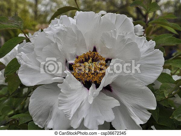full-blown bud of white peony, close-up - csp36672345
