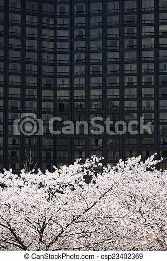full blown Korean cherry blossoms in Seoul City - csp23402369