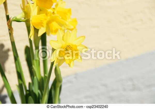 full blown narcissus flowers in a garden - csp23402240
