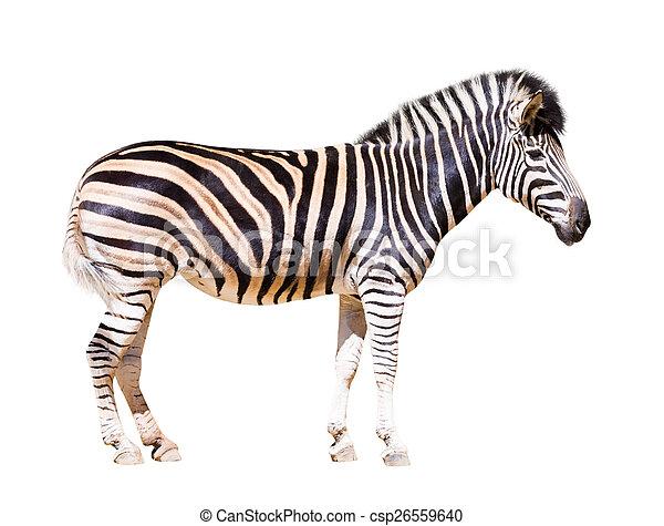full length of zebra   - csp26559640